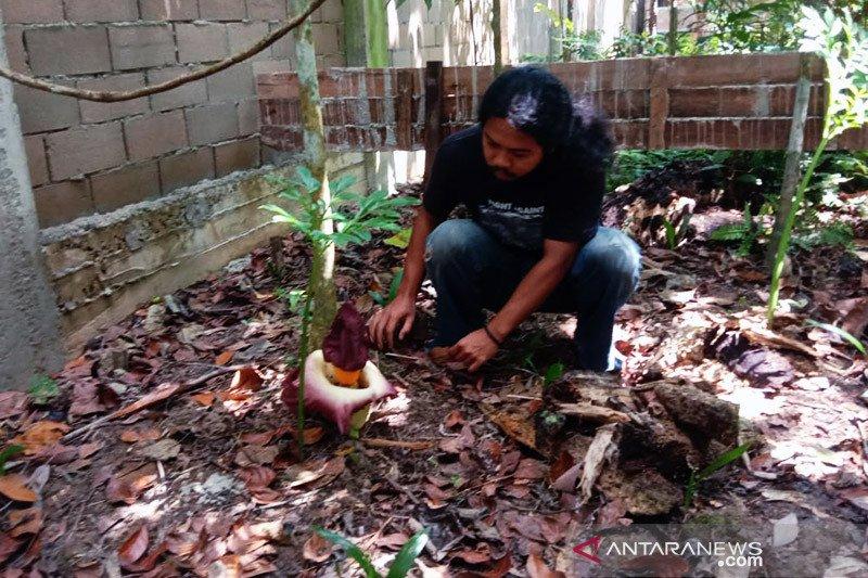Bunga bangkai mekar di hutan Arboretum Sylva Untan Kalbar