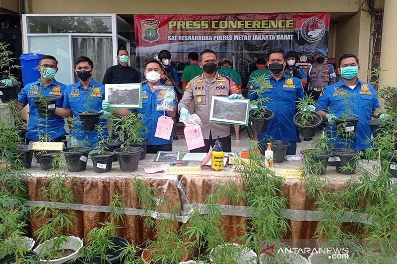 Kriminal Jakarta sepekan, ganja hidroponik hingga preman diciduk