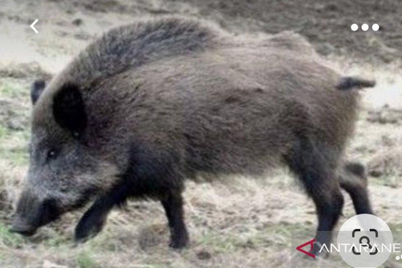 Ratusan babi hutan ditemukan mati di tiga kabupaten di Kaltara