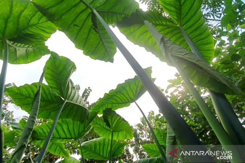 Bernilai ekspor, petani Tapanuli Selatan budi daya Talas Beneng