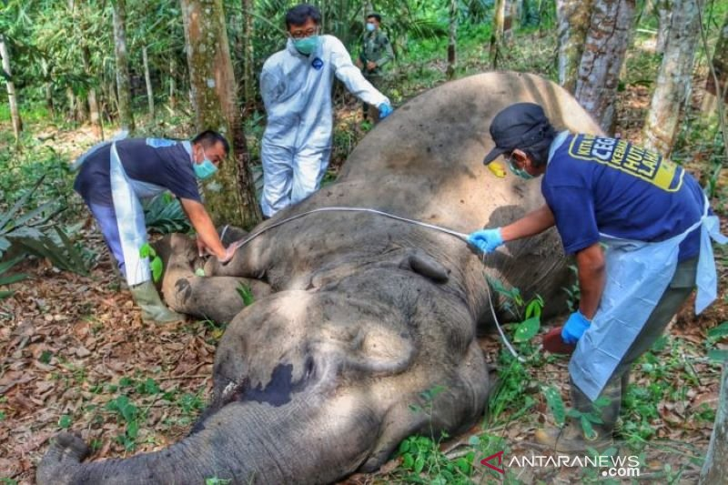 Gajah betina ditemukan mati di kebun warga Pelalawan-Riau
