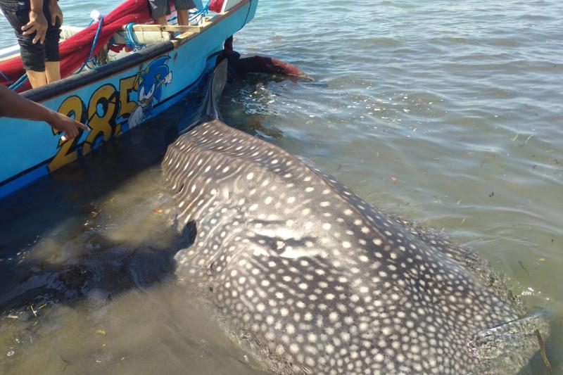 Petugas dan warga urunan ganti jala nelayan demi selamatkan hiu paus