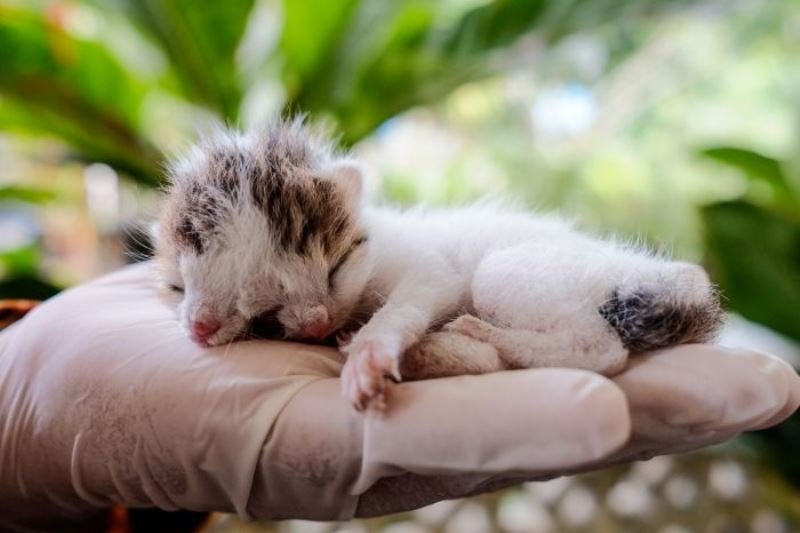 Kucing Berwajah Dua di Bangka diberi nama Juna Juni