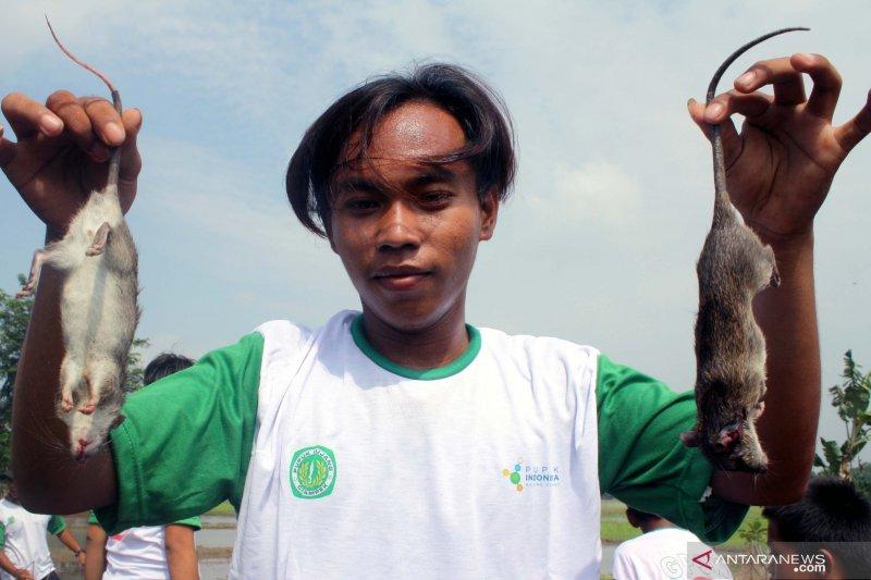 Anggota DPR buat sayembara tangkap tikus di areal sawah Purwakarta
