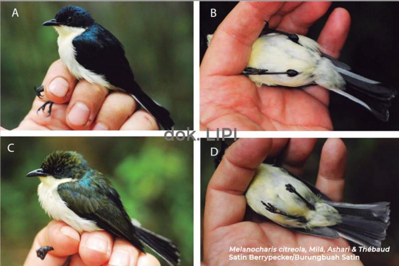 LIPI temukan jenis baru Burungbuah di Papua Barat