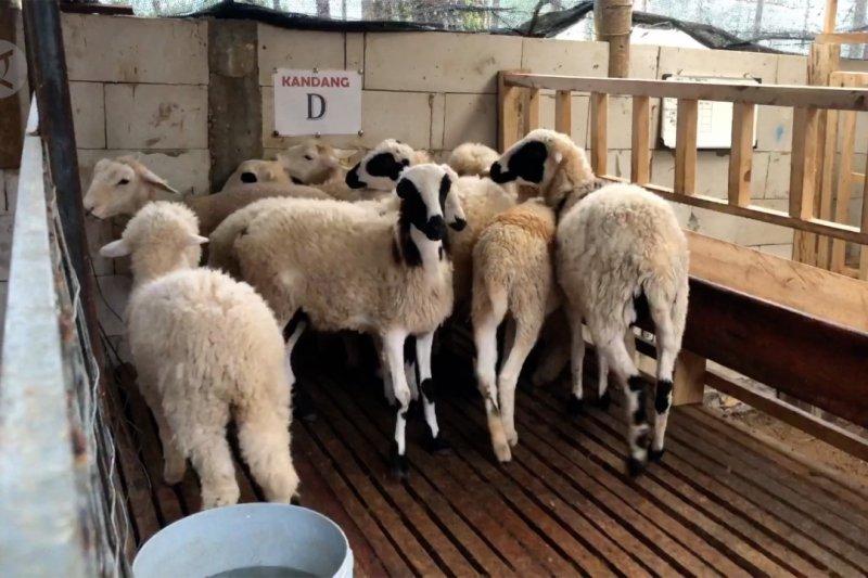 Camat dengan ternak domba beromzet ratusan juta rupiah