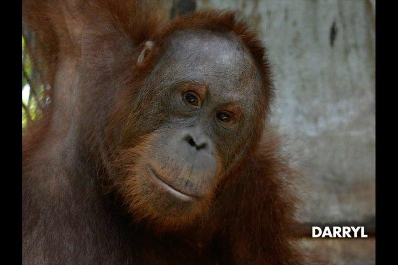 7 orangutan kembali hidup di alam bebas hutan Kalimantan