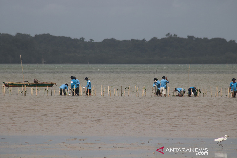 Kemendes rehabilitasi 60 hektare hutan mangrove di Kepulauan Tanimbar