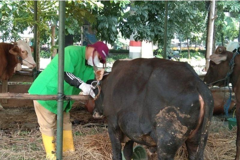 Tata cara penyembelihan hewan kurban masa pandemi COVID-19