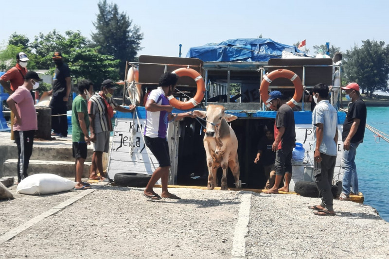 30 hewan kurban diangkut kapal menuju Kepulauan Seribu