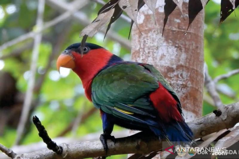 76 satwa endemik Papua dilepasliarkan di hutan adat Isyo