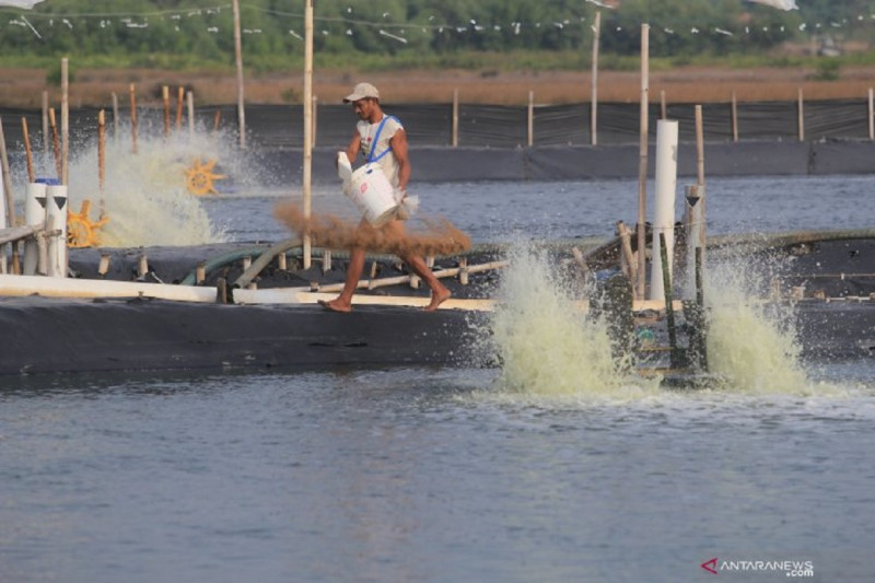 Pengembangan shrimp estate perlu dipastikan tidak rusak mangrove thumbnail