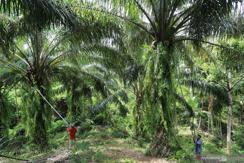 Kementan: 755 perkebunan sawit telah bersertifikat ISPO