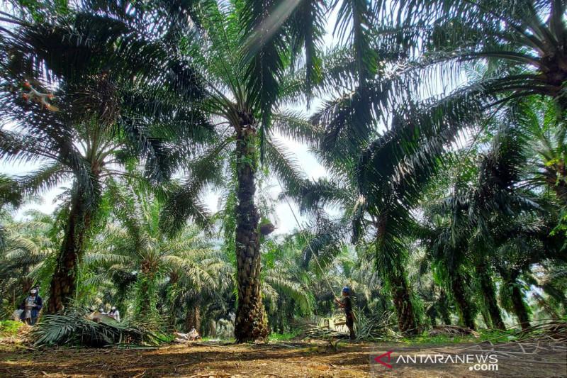 Minyak sawit berkontribusi 50 persen pendapatan PTPN VIII