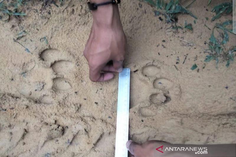 Jejak harimau sumatera ditemukan di kebun sawit wilayah Pelalawan Riau