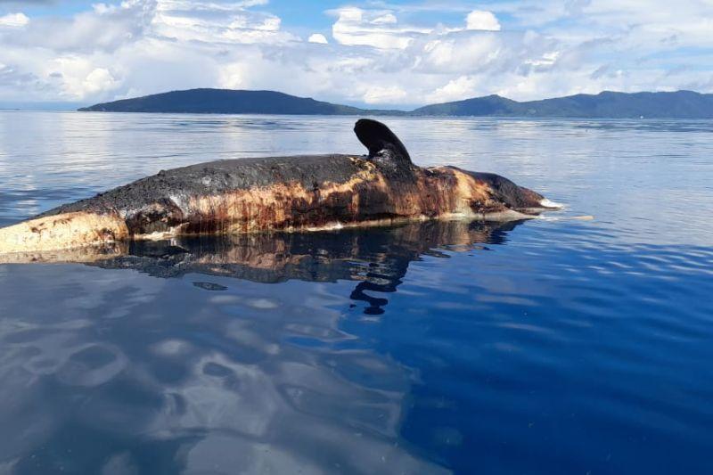Masyarakat temukan hiu paus mati terapung di perairan Raja Ampat