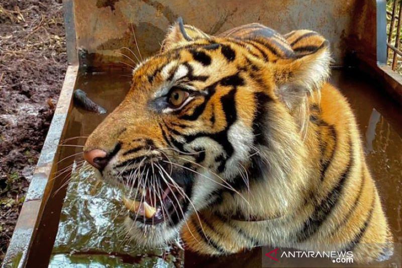 BBKSDA Riau relokasi harimau sumatra dari Teluk Lanus ke Pekanbaru