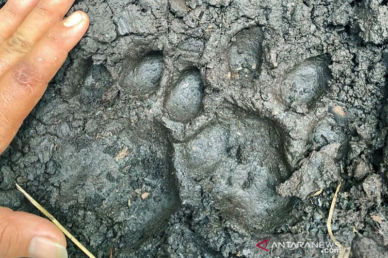 Polisi Siak menemukan jejak harimau dan kepala korban