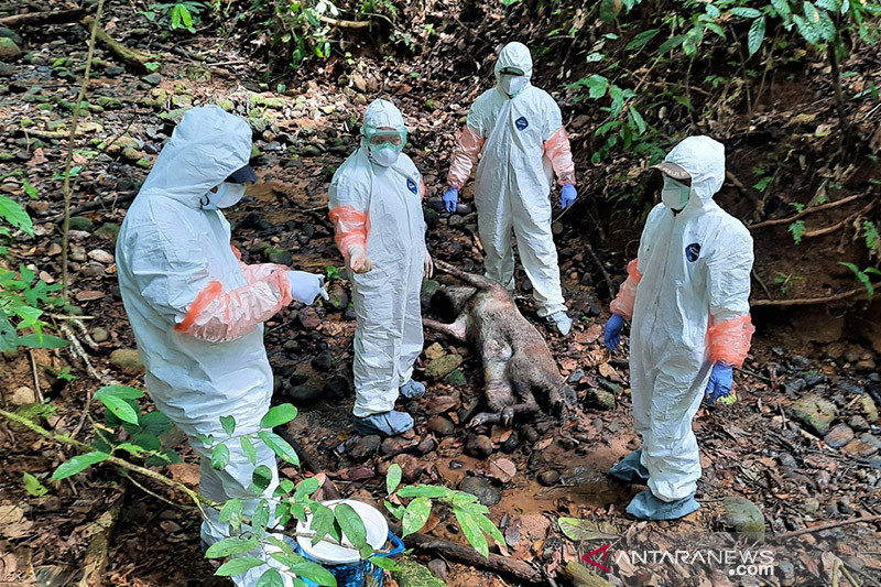 Belasan babi hutan di Bengkulu mati terserang flu babi