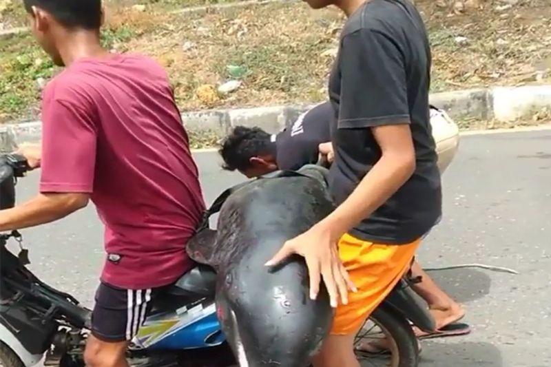 BPSPL Denpasar telusuri video warga Bima boncengkan paus kepala melon