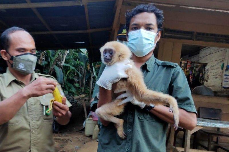BKSDA Sumut terima seekor satwa owa dari warga Tapanuli Selatan