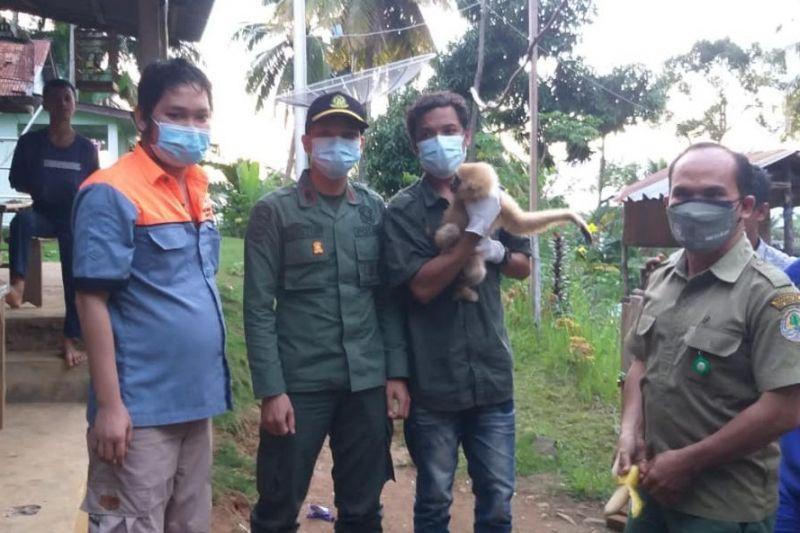 Satwa Owa dievakuasi ke Pusat Rehabilitasi Primata Besitang Langkat