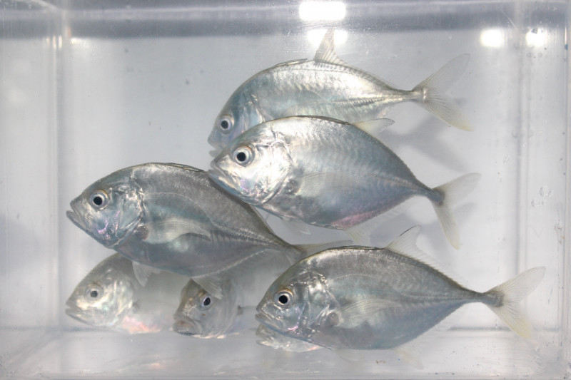 KKP kembangkan teknologi budi daya ikan bubara