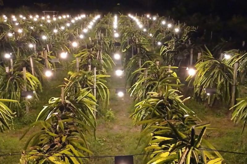 Elektrifikasi pertanian tingkatkan omset petani buah naga Maluku