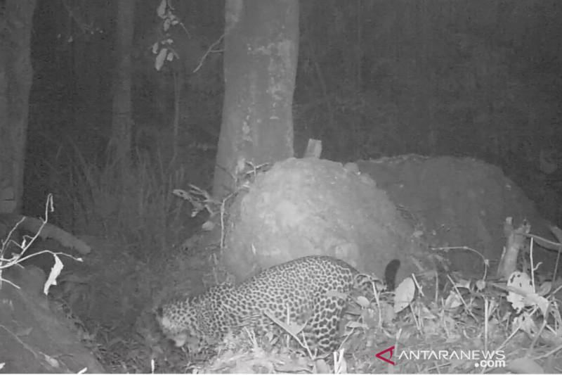 Dedi Mulyadi minta warga tak memburu macan Gunung Sanggabuana Karawang