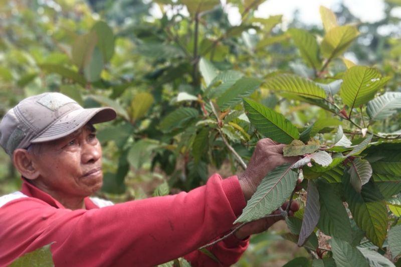 Menkes Budi serahkan polemik tumbuhan kratom kepada ahli