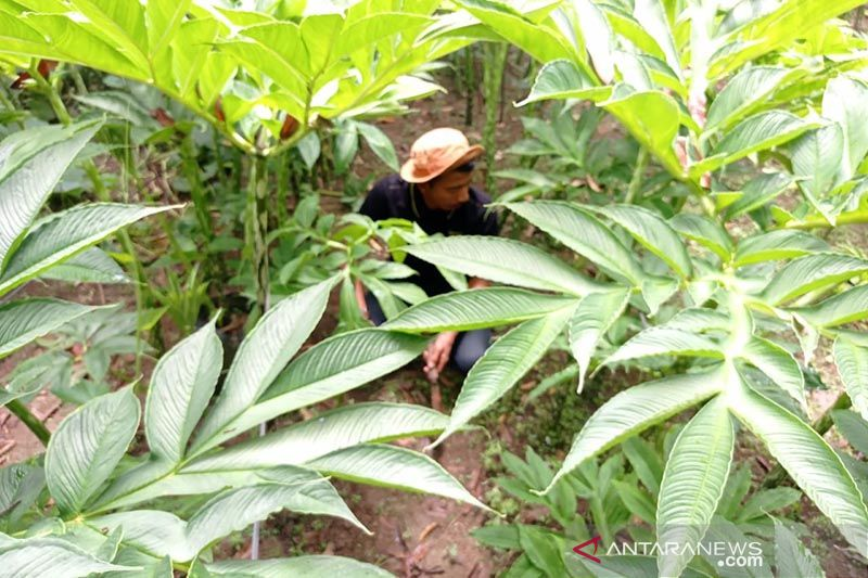 Unsri Palembang kembangkan budi daya porang sebagai tanaman sela thumbnail