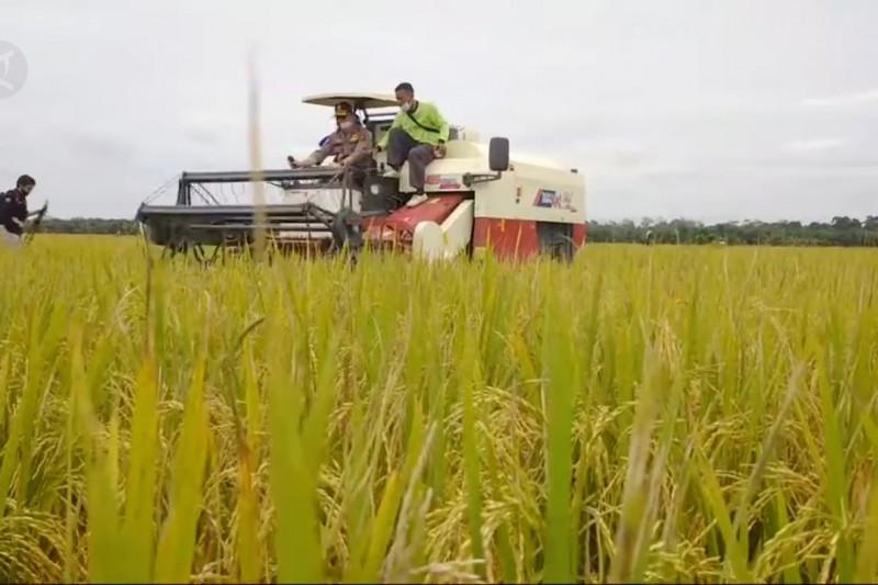 Meski pandemi, produksi padi di Jambi meningkat thumbnail