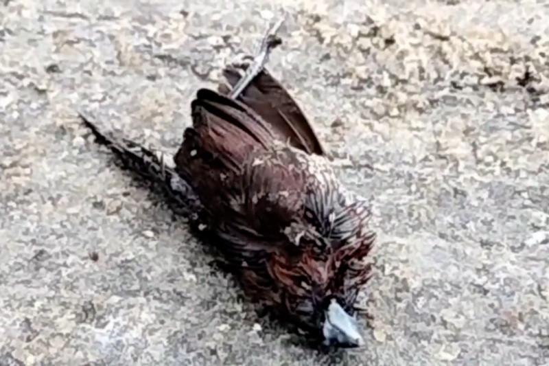 Ratusan burung pipit mendadak mati di Balai Kota Cirebon