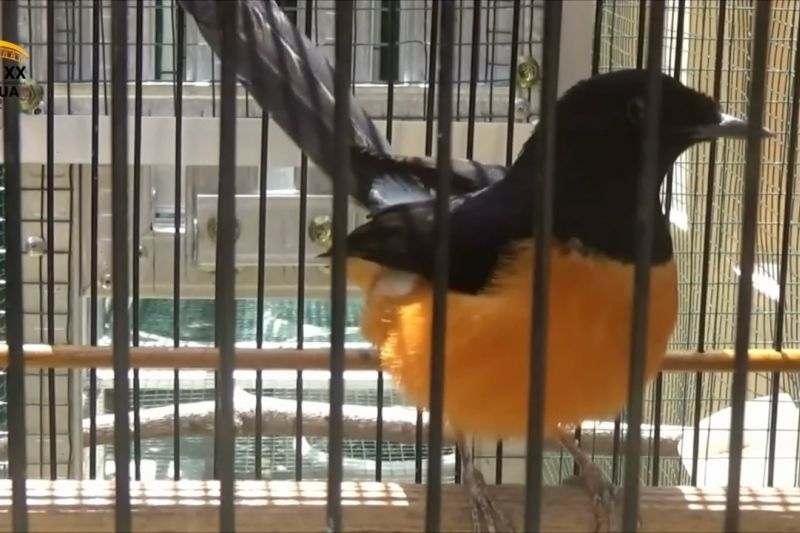 Budidaya burung Murai beromzet belasan juta rupiah per bulan thumbnail