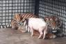 Kondisi harimau translokasi ke Lampung membaik
