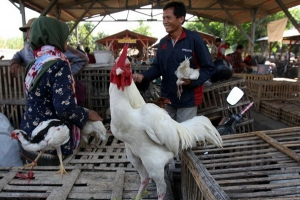 Ayam Jantan