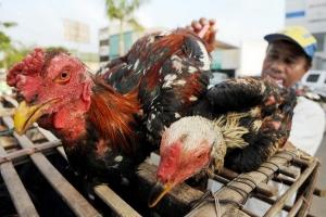 Kementan cek peternak ayam lingnan untuk klarifikasi