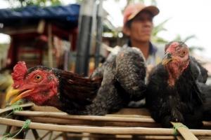 Ayam kampung di Ambon Rp130.000/ekor