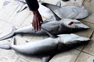 Studi: Ikan Hiu Ternyata Buta Warna