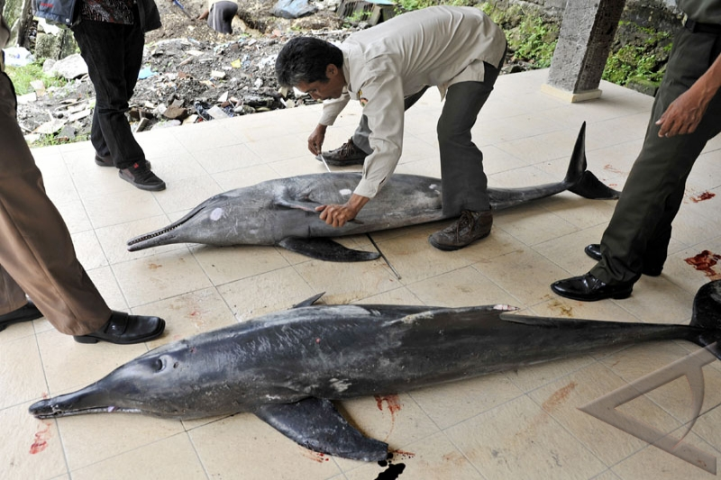 East Nusa Tenggara fishermen save 20 dolphins