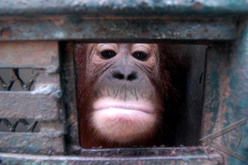 Stop orangutan skull trade