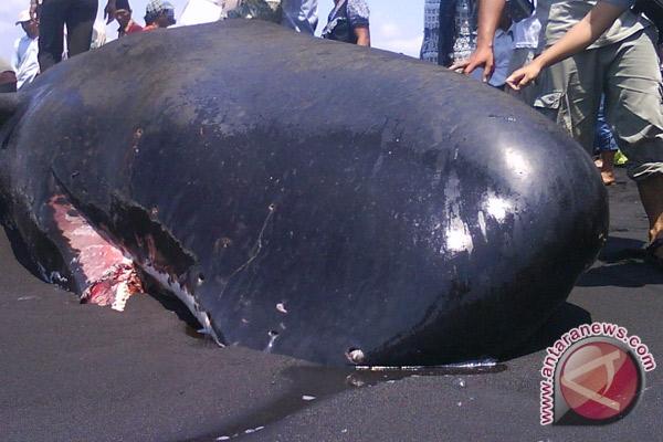 Setiap tahun ikan paus terdampar di Sabu