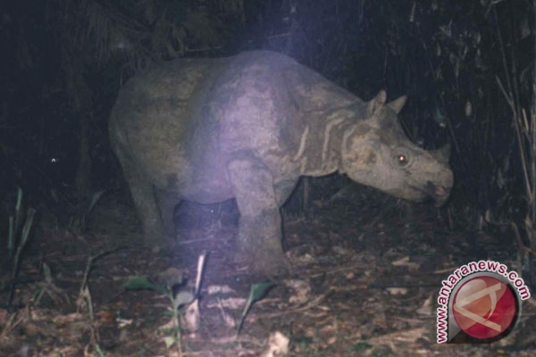 Javan rhinos breed at Ujung Kulon: WWF