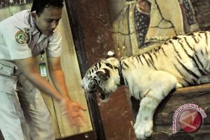 Seekor harimau putih lahir di Bali Zoo