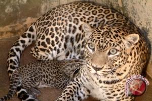 Ada jejak-cakar macan tutul di TN Meru Betiri