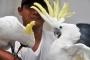 21 kakatua akan dilepas ke Pegunungan Cyclop, Papua