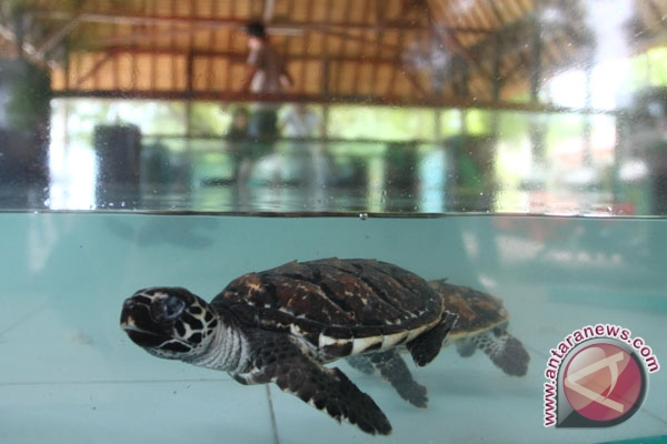 World`s best turtle habitat in Gorontalo threatened