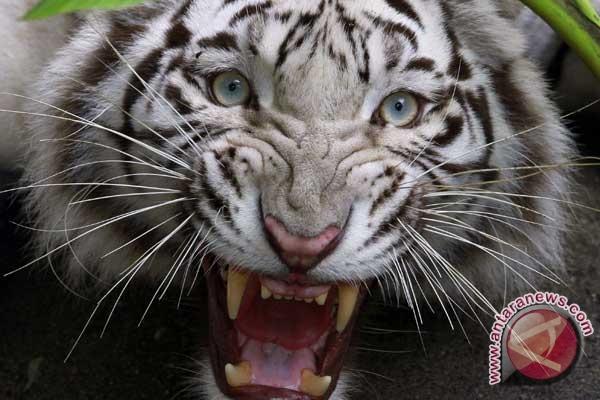 Dua Ekor Harimau Memangsa Kerbau Warga Kerinci