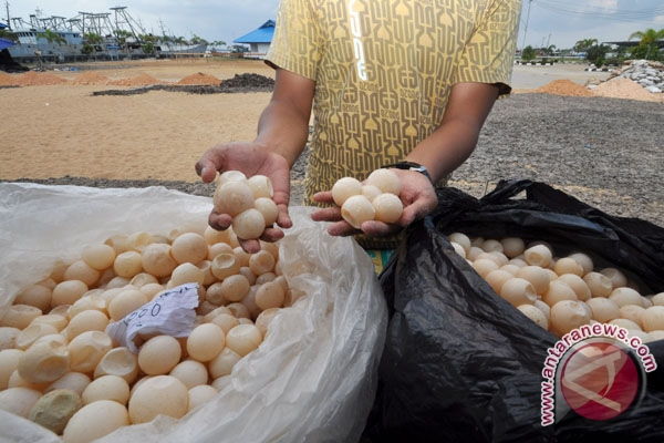 3.900 telur penyu gagal diselundupkan ke Sarawak