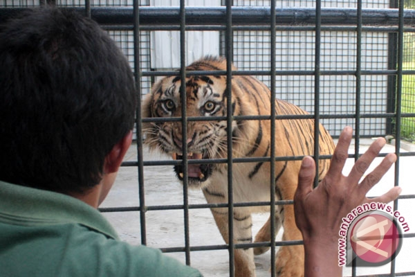 Harimau Sumatera di Padangpariaman Dievakuasi
